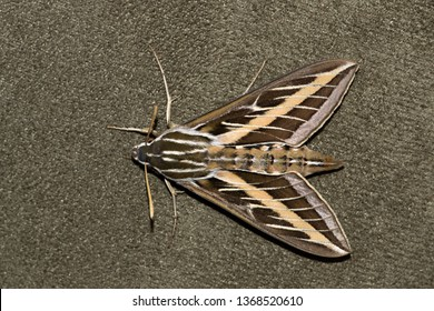 A horizontal overhead view of a White-Lined Sphinx Moth (Hyles lineata) resting on upholstered furniture. They are also known as Hummingbird moths.