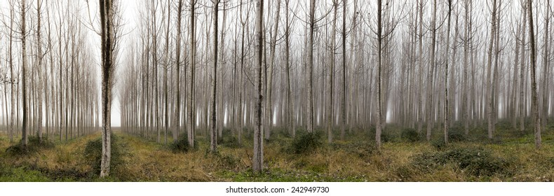 Horizontal Panorama. Trees in a forest with fog, winter