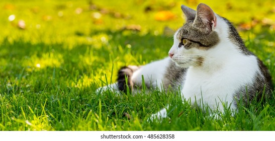 Horizontal photo of adult cat with white-tabby fur who lays and rests in the garden on grass. Lawn is green with several old brown leaves. Cat looks what happens in the garden.