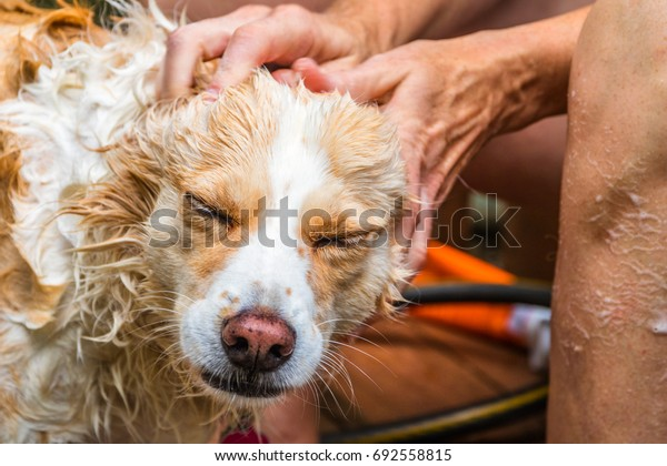 Horizontal photo of a blonde border collie mix being washed and having her head rubbed by a caucasian woman