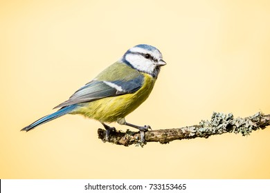 Horizontal photo of blue tit songbird. Bird with yellow, white,blue green feathers. Animal is perched on dry twig which is covered by moss and lichen. Bird is on light orange background.