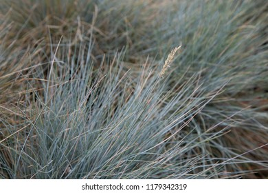 Horizontal photo of festuca glauca 'Elijah Blue' for background. Silver grass in botanical garden by daylight