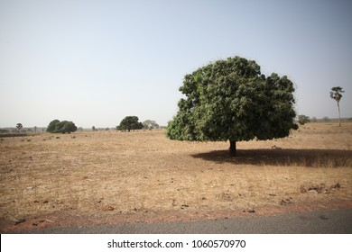 horizontal photo of a huge green tree growing on a dry grass, african savannah on a summer day in Gambia, Africa