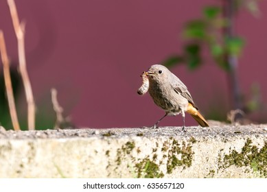 Horizontal photo with single gray black redstart bird with nice orange tail. Bird sits on concrete curb with moss in the garden. Bird has in a beak big fat worm. Few plants are in background.