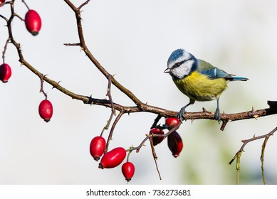 Horizontal photo of single male blue tit songbird. Bird is perched on thin twig of red rose hip with few fruits. Animal has yellow, blue, black, green and white feathes. Background is light.