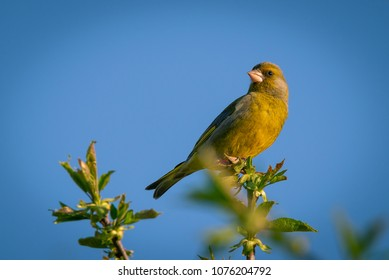 Horizontal photo of single male green finch. Bird is perched on the top twig of cherry tree. Twig is with fresh spring green leaves. Animal has nice green and yellow feathers.