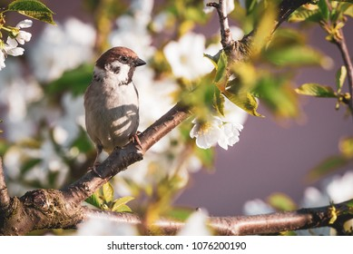 Horizontal photo of single male sparrow. Bird is perched on the twig of cherry tree. Other branches are full of fresh leaves and white blooms. Animal has nice brown and grey feathers.