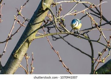 Horizontal photo with small male bluetit. Bird has nice blue, white and yellow color on feathers. Animal looks down from the twig of plum tree branch which has fresh small spring leaves.