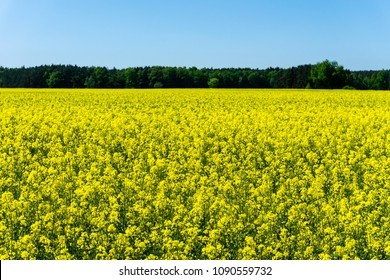 Horizontal photo with summer landscape. Large field with rapeseed plants fills full foreground. Plants have many bright yellow blooms. Woods and blue sky are in the background.