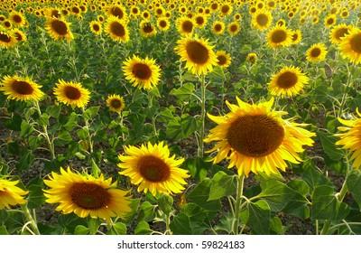 Horizontal photo of sunflower field in Tuscany