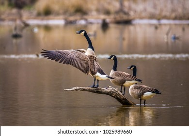 A horizontal photo of three Canadian geese on a brown branch coming out of a pond with one flapping its wings and honking