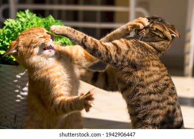 Horizontal photo of two young ginger and brown cats fighting in the garden on the grass in summer.