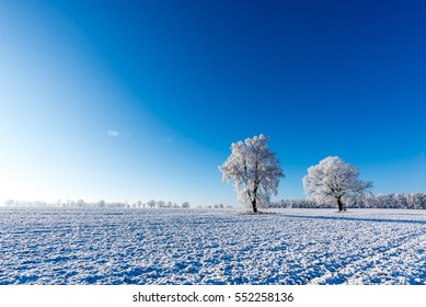Horizontal photo with winter scene landscape. Two trees grow lonely in the middle of snowy field. Trees are completely covered by white frost. Sky is blue and clear with sun beam on side.
