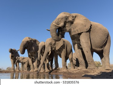 A horizontal photograph of a herd of Elephants (loxodonta africana) drinking from a dam side by side at sunset in Mashatu Game Reserve