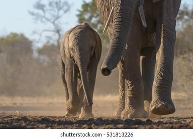 A horizontal photograph of one baby Elephant (loxodonta africana) walking alongside the mother Elephant at sunrise in Mashatu Game Reserve