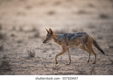 A horizontal photograph of one Black-backed Jackal (canis mesomelas) walking cautiously during the afternoon in The Kgalagadi Transfrontier Park