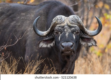 A horizontal photograph of one buffalo (syncerus caffer) staring at towards the camera during the afternoon in diffused light in The Timbavati Game Reserve
