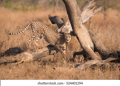 A horizontal photograph of one Cheetah (acinonyx jubatus) walking cautiously over a dead tree at sunrise in The Kruger National Park