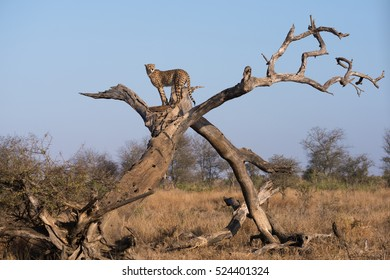 A horizontal photograph of one Cheetah (acinonyx jubatus) standing at the top of a dead tree during sunrise in The Kruger National Park