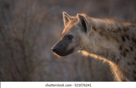 A horizontal photograph of one hyena's (crocuta crocuta) backlit side profile in The Kruger National Park at sunset