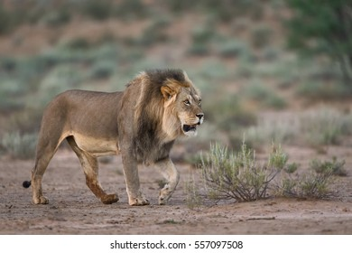 A horizontal photograph of one male Lion (panthera leo) walking during sunrise in The Kgalagadi Transfrontier Park