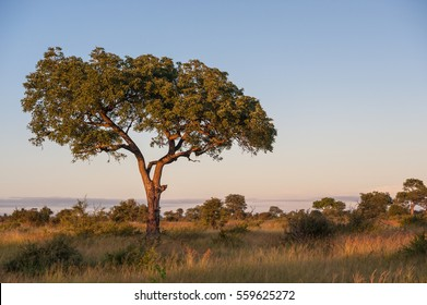 A horizontal photograph of one Marula Tree (Sclerocarya birrea) in the wild Kruger National Park during sunset