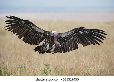 A horizontal photograph of one Ruppel's Vulture (gyps rueppellii) about to land with wings wide open during sunset in the Masai Mara