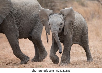A horizontal photograph of one young elephant (Loxodonta) walking towards the camera in the afternoon in The Kruger National Park