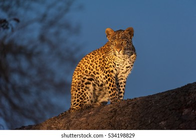 A horizontal photograph of one young female Leopard cub (panthera pardus) sitting on a branch in a tree made visible with a spotlight after sunset in Sabi Sands Game Reserve