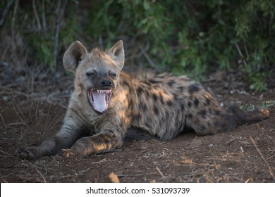 A horizontal photograph of one young Hyena (crocuta crocuta) laying down and yawning towards the camera during sunset in The Kruger National Park