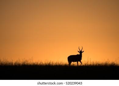 A horizontal photograph of a silhouetted Blesbok (Damaliscus pygargus phillipsi) walking along the horizon at dusk