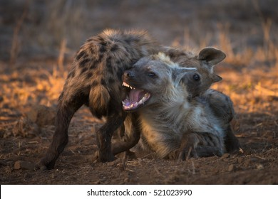 A horizontal photograph of two hyenas (crocuta crocuta) biting each other playfully during sunset in The Kruger National Park