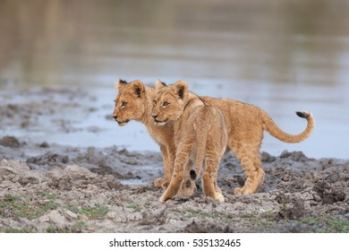 A horizontal photograph of two Lion cubs (panthera leo) standing together in mud next to a waterhole during sunset in the Sabi Sands Game Reserve