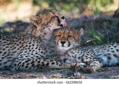 A horizontal photograph of two young Cheetah (acinonyx jubatus) relaxing under a tree on a sunny day while the one Cheetah grooms the other in The Kgalagadi Transfrontier Park