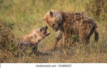 A horizontal photograph of two young Hyena (crocuta crocuta) playfully interacting during sunrise in the Masai Mara
