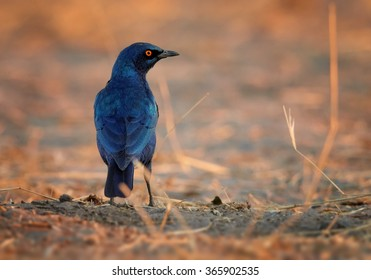 Horizontal photo,sparkling,metallic blue Cape Glossy Starling Lamprotornis nitens with bright orange eye on dry ground in colorful setting sun light, orange brownish blurred background.Rear view.