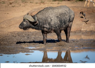 Horizontal portrait of an adult buffalo standing in mud in morning sunlight in Kruger Park in South Africa