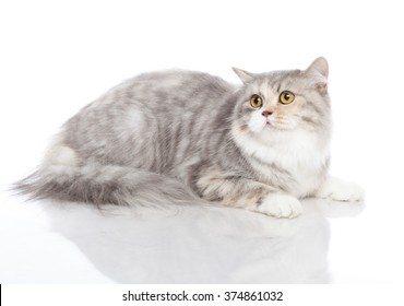 Horizontal portrait of one cat of british longhair breed lying on isolated background