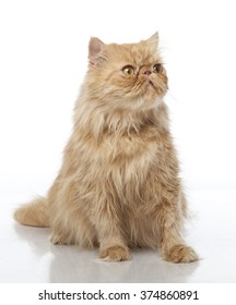 Horizontal portrait of one cat of red color sitting on isolated background