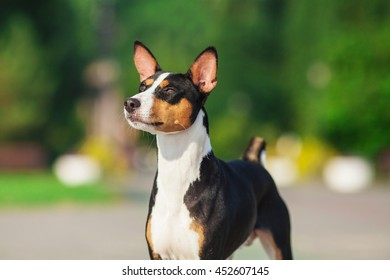 Horizontal portrait of one dog of basenji breed with short hair of tricolor black, white and red color, standing outside with green background on summer.