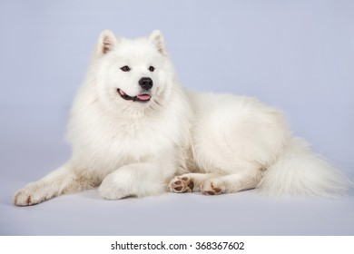 Horizontal portrait of one dog of Samoyed breed with fluffy white coat lying on white studio background