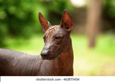 Horizontal portrait of one dog of Xoloitzcuintli breed, mexican hairless dog of  black color of standart size, standing outdoors on ground with green grass and trees on background on summer sunny day