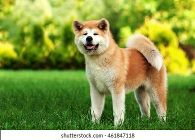 Horizontal portrait of one puppy teenager dog of japanese breed akita inu with long white and red fluffy coat standing outdoors on green grass on summer sunny day