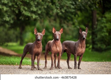 Horizontal portrait of three dogs of Xoloitzcuintli breed, mexican hairless dogs of  black color of standart size, standing outdoors on ground with green grass and trees on background on summer day