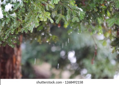 A horizontal presentation of a redwood tree with falling snow in a blurred background.