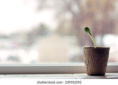 horizontal pumpkin Plant seedling in window