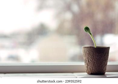 horizontal pumpkin Plant seedling in window