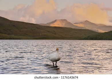 Horizontal scenic image of Faroese landscape with Cygnus cygnus (whooper swan, Singschwan) standing in lake with distant mountains in background and clouds colored in yellow and orange by evening sun