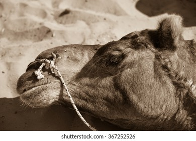 Horizontal, sepia toned, close up shot of a camel's face with its riding saddle on. It is resting after a ride through the desert. This was shot in the Thar Desert in India.