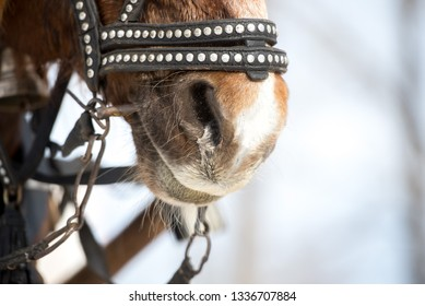 horizontal shot of a brown horse. muzzle with old leather and metal strapping with big nostrils.